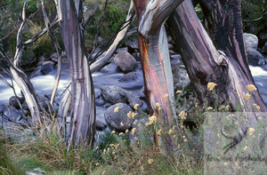 Snow-gum-eucalyptus-trees